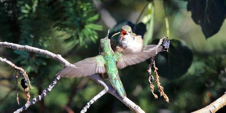 Broad-tailed Hummingbirds