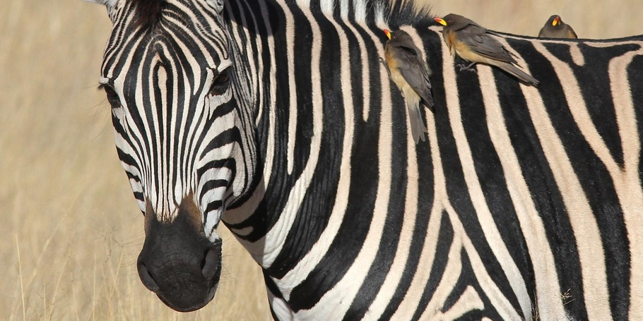 Zebra with oxpeckers -