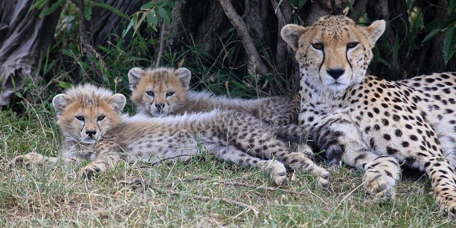 Cheetah cubs - Kenya