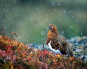 Willow Ptarmigan in Snow
