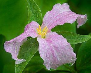 Pink Trillium in the rain, Smoky Mountain National Park