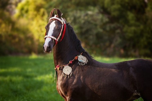 Marwari Horse of India with jewelry