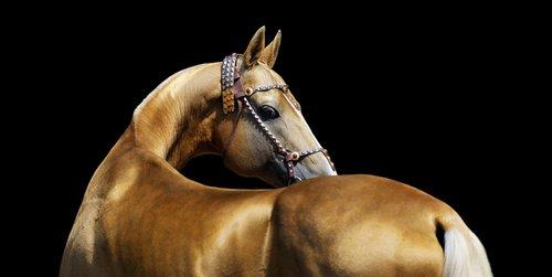 Akhel-Teke horse