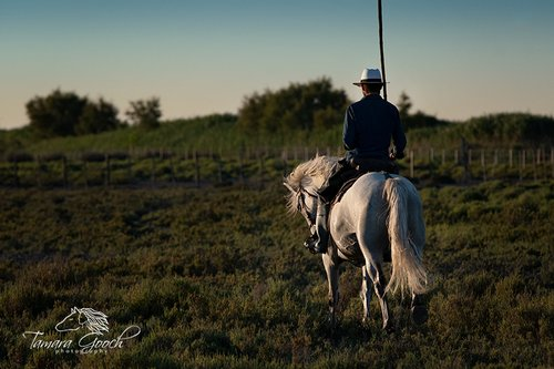White Camargue horse with Guardian