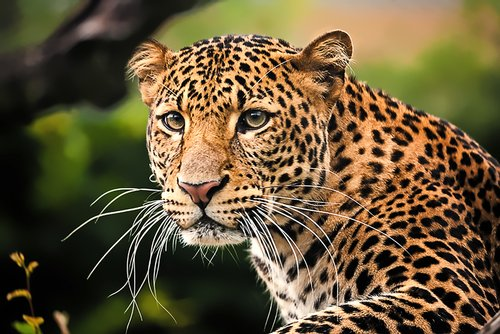 leopard photo from india