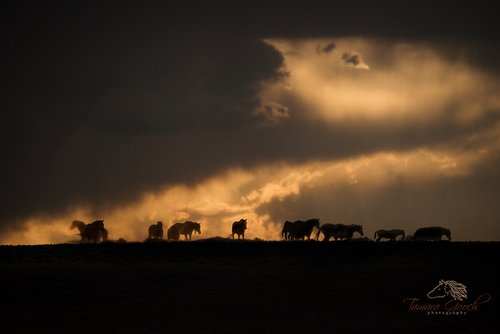 Wild horses coming out of the storm