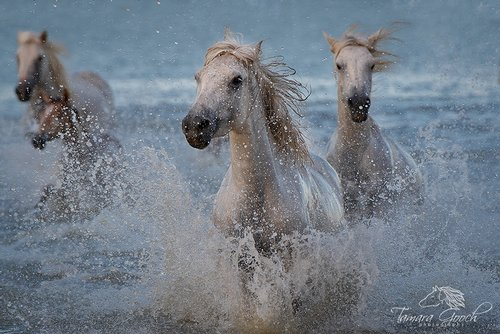Camargue Horses Provence France