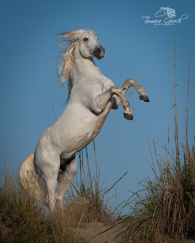 White Camargue Stallion Rearing at the beach