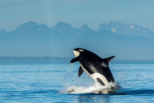 Orca Whale breeching San Juan Islands