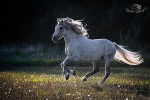 Andalusian Horse at liberty