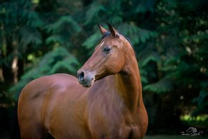 Azteca Horse in the Northwest Wood