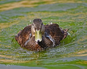 Bathing Black Duck - photo by Timothy Flanigan at Nature Exposure