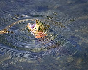 Rising Rainbow Trout - photo by Timothy Flanigan at Nature Exposure