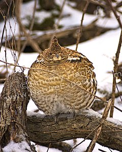 Ruffed Grouse Insulated Against Cold- photo by Timothy Flanigan