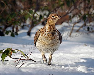 The Ruffed Grouse Program by Tim Flangian