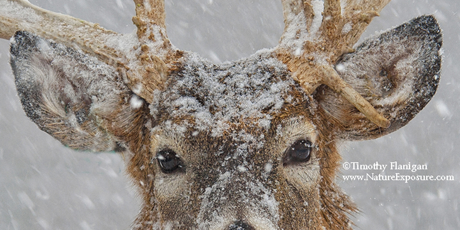 Deer Eyes Only - photo Timothy Flanigan at Nature Exposure