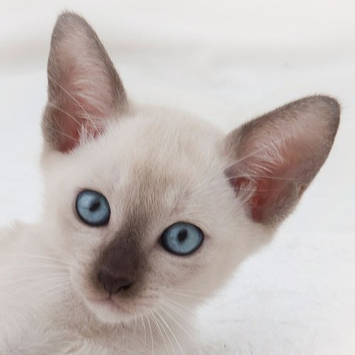 Eye Colour Tonkinese Cats Kittens Queensland