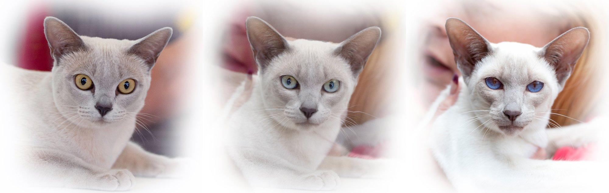 Tonkinese in Australia :: Tonkinese Cats & Kittens Queensland