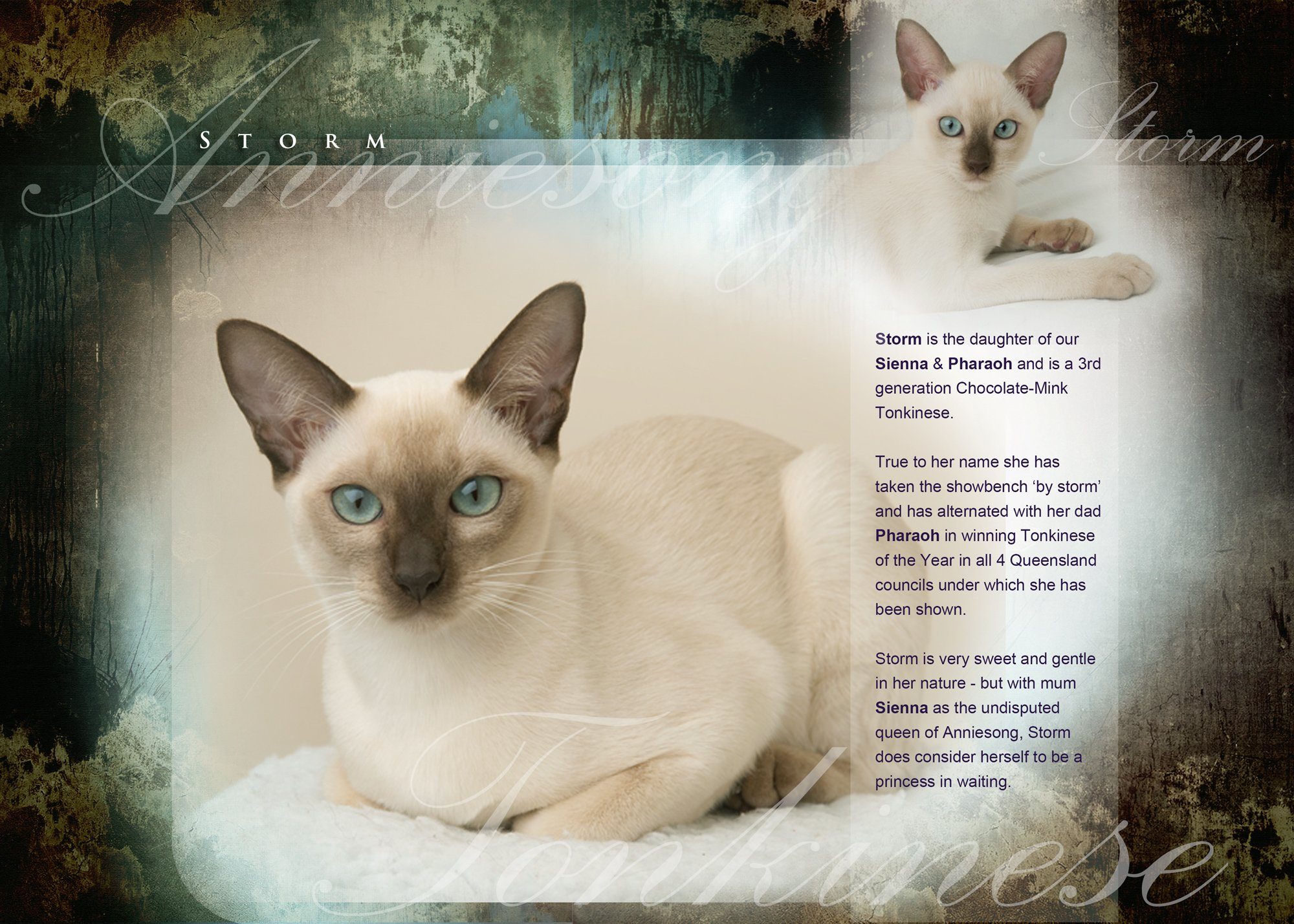 Storm :: Tonkinese Cats & Kittens Queensland