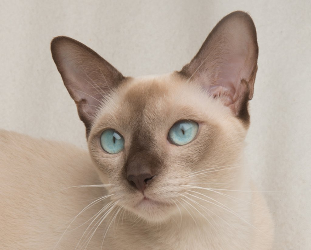 Available Kittens Tonkinese Cats & Kittens Queensland