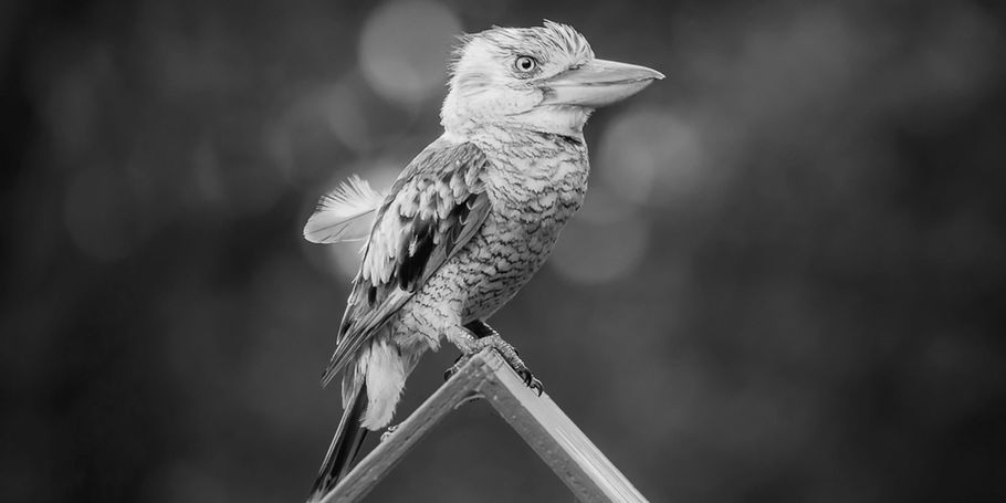 Kookaburra sitting on the letterbox - Geoffrey Bay