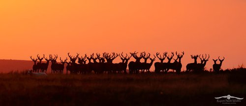Amazing group of Red Deer Stags at sunset on Exmoor by Rupert Smith