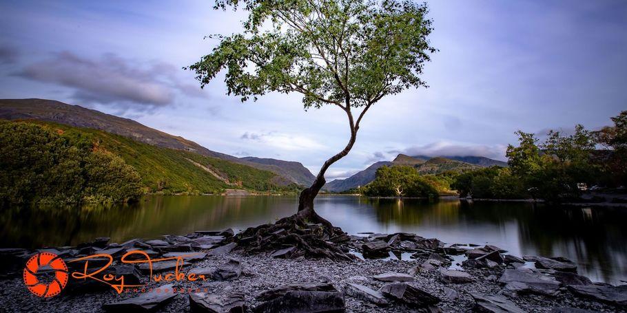 The Lone Tree at Padarn Lake, Llanberris
