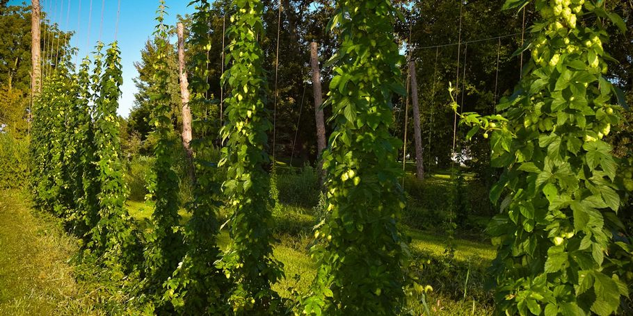 Chinock Hops Row