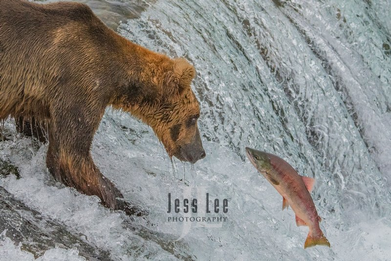Brown Bear catching salmon at Brooks Falls, Katmai National Park Alaska