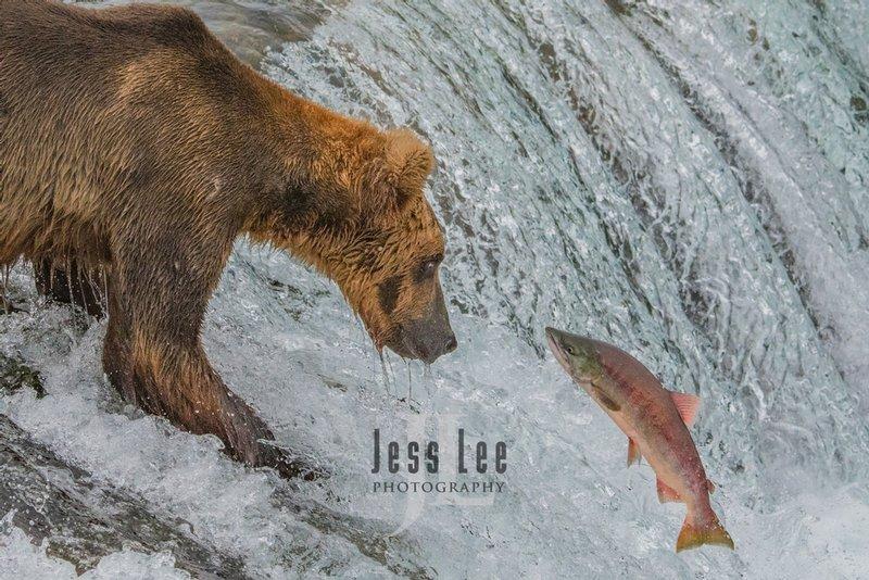 Brown Bear catching salmon at Brooks Falls, Katmai National Park Alaska