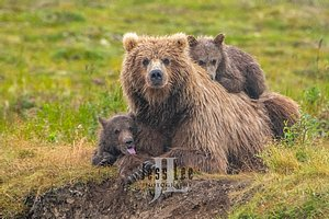 Brown Bear cub resting on moms back while another cub sticks its young out