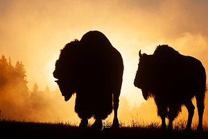 Bison sunrise Yellowstone