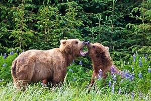 Brown Bear courtship Lake Clark Alaska
