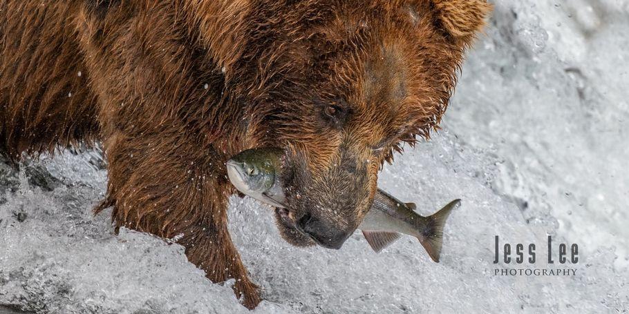 Brown Bear fishing for Salmon Katmai Alaska photo workshop