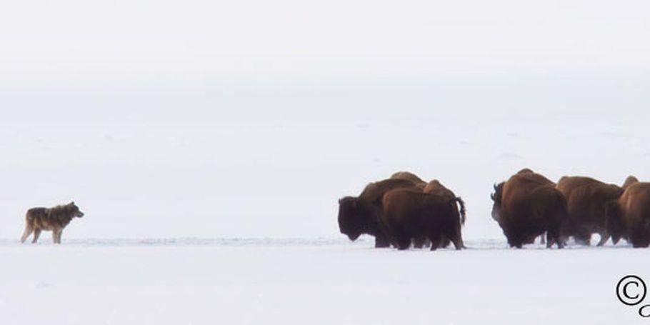 Winter Yellowstone wolf and bison during Photo Workshop
