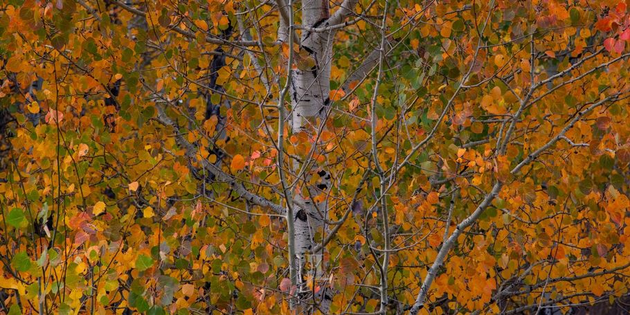 Aspen Leaves Grand Teton National Park