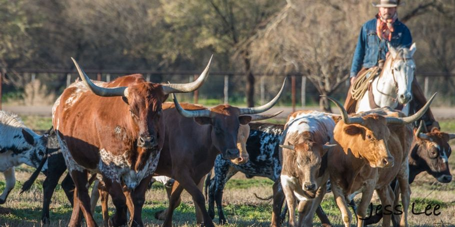 long horn cattle roundup