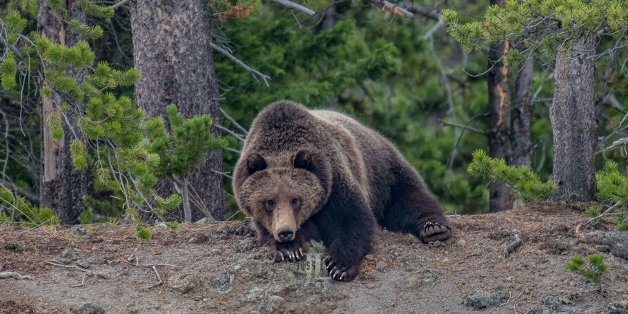 Yellowstone-Teton is the home of grizzly bears