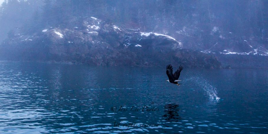 Eagle fishing in the mist