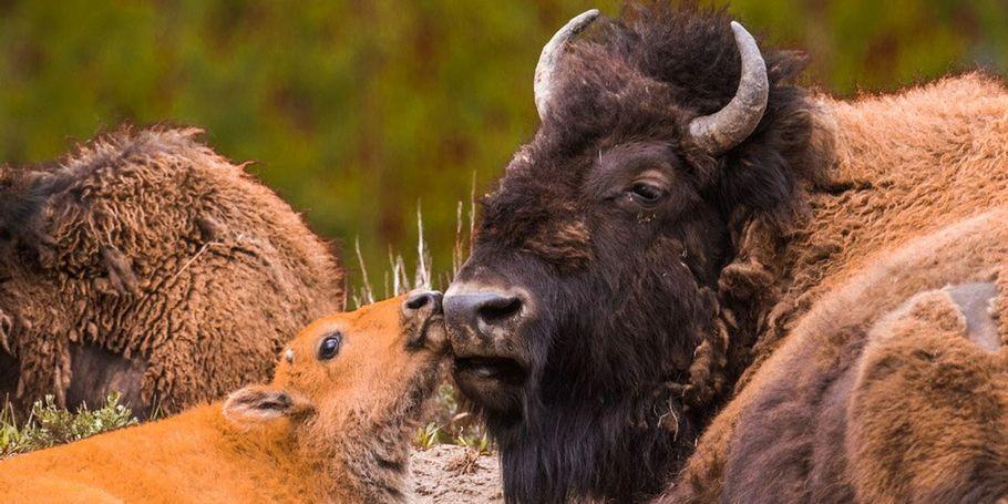 Yellowstone Spring Tour