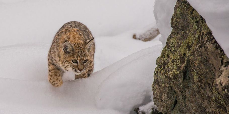 Bobcat hunting in winter