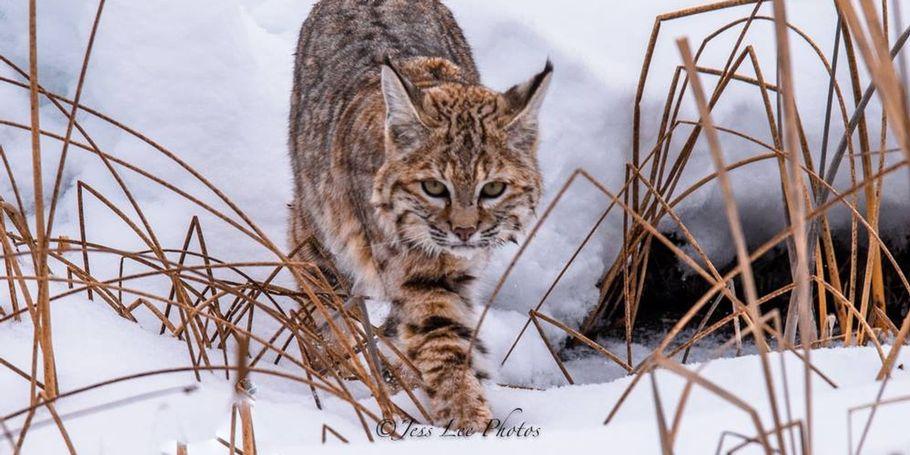 Yellowstone bob cat