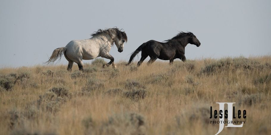 Wyoming mustangs fighting