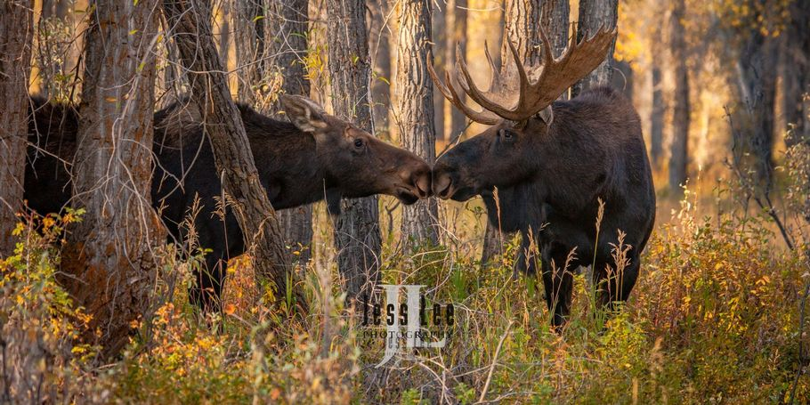 Teton Moose Photo workshop