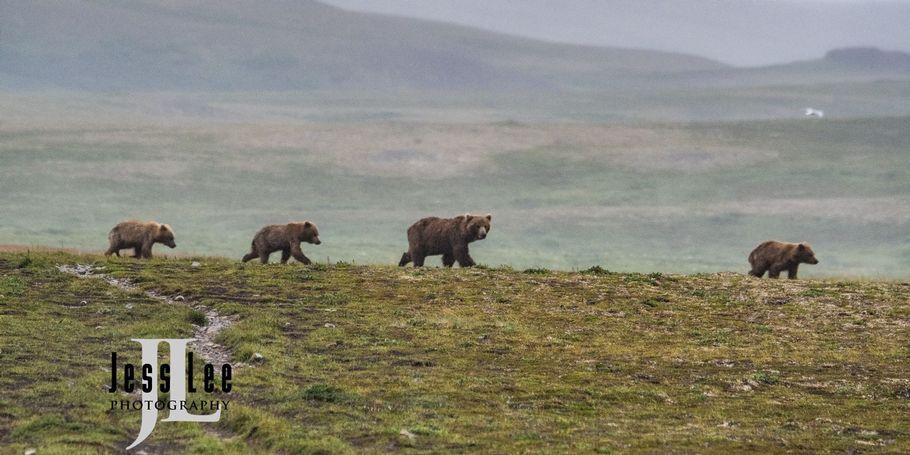 Bear Family in Sub arctic Alaska