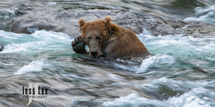 Brown Bear and fast water