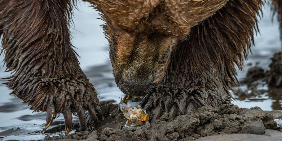 Claming Bears
