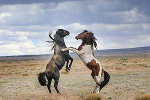 Onaqui horses and HMA