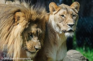 Lion and Lioness close up view of faces at the Akron Zoo photo by Ohio Stock Photography D1F1365