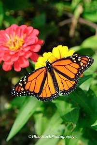 Monarch Butterfly on a yellow flower at Cox Arboretum photo by Ohio Stock Photography D4M27